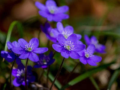 flower-3329845_1280-hepatica-violet